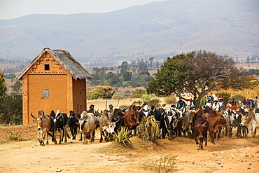 Zebu herd in the highlands near Ambavalao, Madagascar, Africa