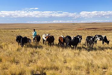 Zebu herd in the central highlands, Bara herdsman, Madagascar, Africa