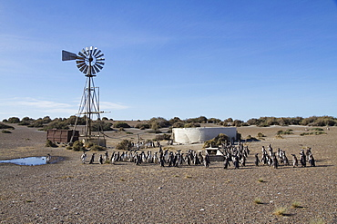 Magellanic Penguins (Spheniscus magellanicus) by a water pumping windmill of Estancia San Lorenzo, Peninsula Valdes, Chubut, Argentina