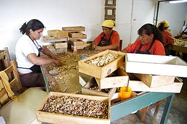 Women cracking walnuts at Huayrapuca Nueces, Tinogasta, Catamarca, Argentina