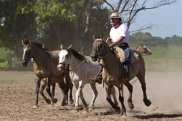 Gaucho hearding horses, Estancia Santa Susana, Los Cardales, Provincia de Buenos Aires, Argentina
