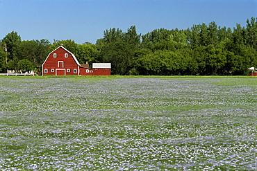 Barn and Flax Field, Grande Pointe, Manitoba