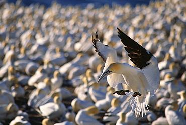 Gannets, Parc national de l'Ile-Bonaventure-et-du Rocher-Perce, Gaspesie Region, Quebec