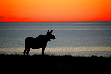 Moose Silhouetted at Sunset, Gros Morne National Park, Newfoundland