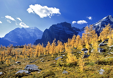 Larch Trees from the Saddleback Trail, Banff National Park, Alberta, Canada