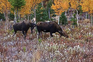 Male moose scenting female, Gaspesie National Park, Quebec