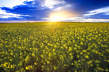 Windblown canola field crop at sunset, Pembina Valley, Manitoba