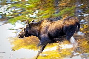 Female Moose running through woods, Maligne Lake, Jasper National Park, Alberta