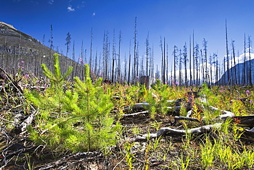 Forest renewal after 2003 Kootenay Wildfires, Marble Canyon, Kootenay National Park, British Columbia