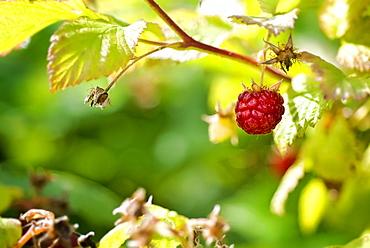Close-up of raspberry patch, Lincoln Gardens, Lumsden, Saskatchewan