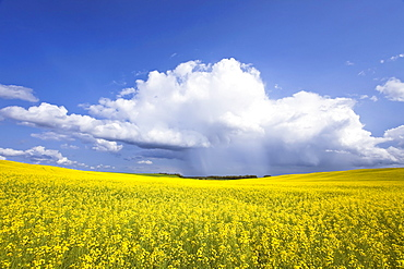 Rainstorm over Canola field crop, Pembina Valley, Manitoba