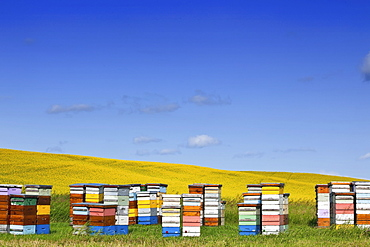 Honey bee hives and canola field, Pembina Valley, Manitoba