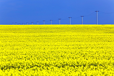 Canola field and power transmission lines, Pembina Valley, Manitoba