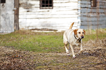 Male Yellow Labrador Retriever in front of depression era farmhouse, Kudlowich homestead, Birds Hill Provincial Park, Manitoba