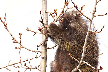 Porcupine up a tree eating buds, northern British Columbia