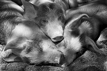 Three piglets sleeping against each other in the shade, Granby Zoo, Granby, Quebec