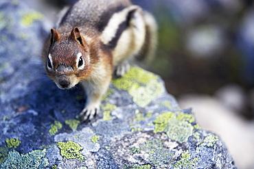 Golden-Mantled Ground Squirrel on Lichen Covered Boulder, Lake Agnes above Lake Louise, Banff National Park, Alberta
