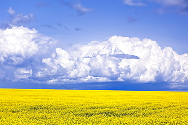 Canola field crop with Cumulonimbus thunderstorm cloud, Pembina Valley, Manitoba