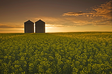 Bloom stage canola field with grain bins in the background, Tiger Hills, Manitoba