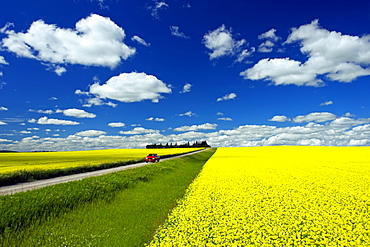 Truck on a country road with blooming canola fields, Tiger Hills, Manitoba