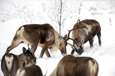 Male caribou sparring in the snow, near Watson Lake, Yukon