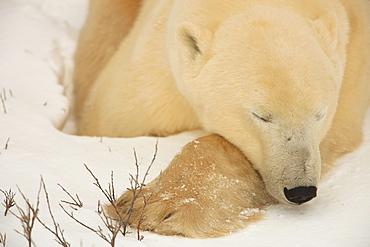 Sleeping Polar bear, Churchill, Manitoba