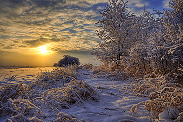 Hoar frost covered trees at sunrise in the Alberta prairies