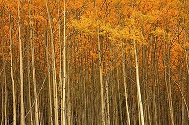 Poplar forest in autumn, Teslin, Yukon