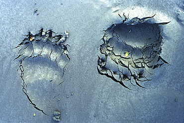 Two Grizzly Bear Prints in Grey Sand, Haines Junction, Yukon
