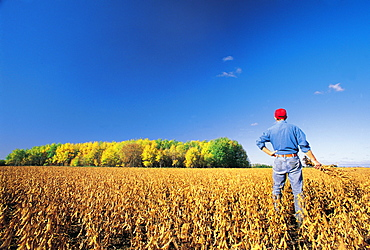 Farmer looks out over a Harvest ready soybean Crop, near Lorette, Manitoba