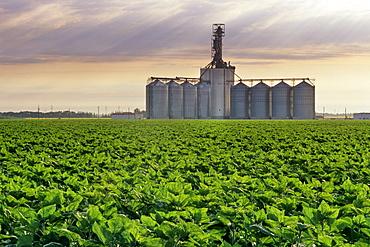 Inland Grain Terminal with Sunflowers in the foreground near Winnipeg, Manitoba