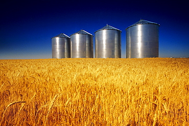 Mature Winter Wheat Field with Grain Bins in the background, near Carey, Manitoba