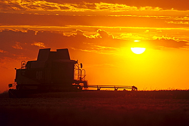 A Combine (harvester) Harvests Winter Wheat at Sunset, near Oakbank, Manitoba