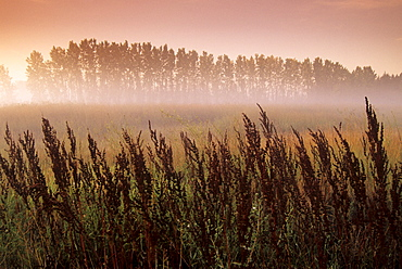 Common Dock (weed) with Aspen Trees in Fog, near St. Adolphe, Manitoba
