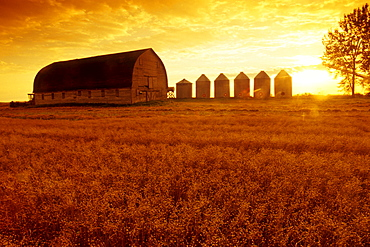 Old Barn with Flax Field in the foreground, near Cypress River, Manitoba
