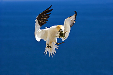 Gannet in flight, Parc national de liIle-Bonaventure-et-du Rocher-Perce, Gaspesie, Quebec