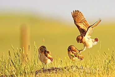 Digitally enhanced image with painterly effect of Burrowing owls playing outside burrow at sunset, Grasslands National Park, Saskatchewan