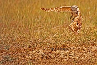 Digitally enhanced image with painterly effect of Burrowing Owl taking flight, Grasslands National Park, Saskatchewan