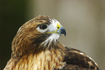Red-tailed hawk in Ecomuseum Zoo, Ste-Anne-de-Bellevue, Quebec, Canada