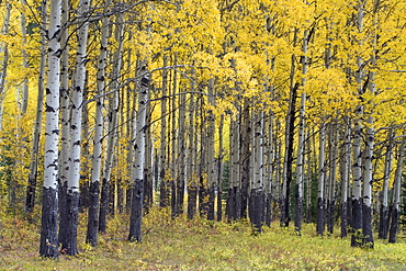Yellow aspen forest in autumn near Banff, Alberta Canada