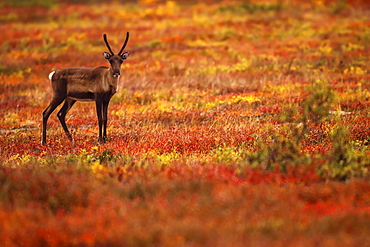 Young caribou in the fall colours, Dempster Highway, Yukon
