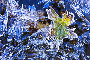 Artist's Choice: Ice and frost on leaves,Yoho National Park, British Columbia