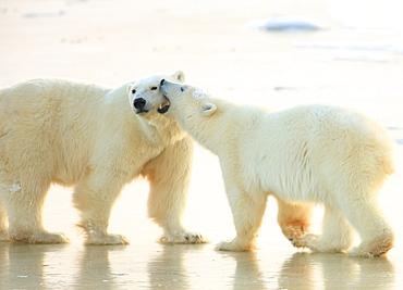 Mother and cub polar bears, Churchill, Manitoba