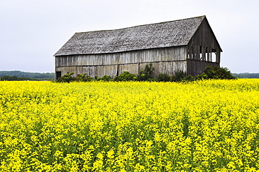 Canola field and old barn, Bas-Saint-Laurent region, Sainte-Helene, Quebec
