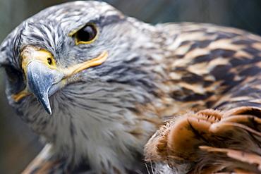 Falcon at Forestry Farm, Saskatoon, Saskatchewan