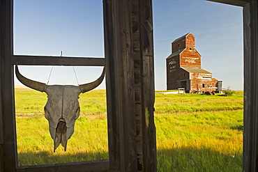 Cow skull hanging from an old window frame with an abandoned grain elevator in the background, ghost town of Bents, Saskatchewan
