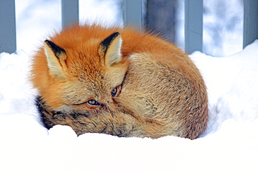 Red fox laying in snow on a porch, Teslin, Yukon