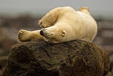 Polar bear laying on rock, Manitoba, Canada
