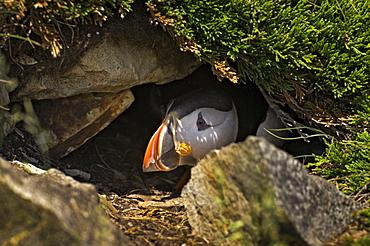 Atlantic Puffin in breeding plumage, July, Newfoundland