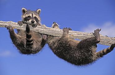 Tk0343, Thomas Kitchin; Young Racoons Exploring Snag Tree. Summer. North America. Procyon Lotor.